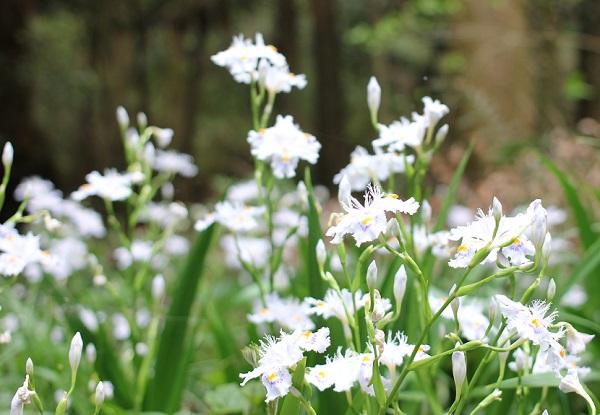 山の咲いていたシャガの花