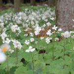 群生しているシラユキゲシ(白雪芥子)