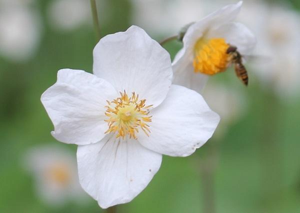 シラユキゲシ(スノーポピー)に蜂が蜜を集めに来た様子の写真