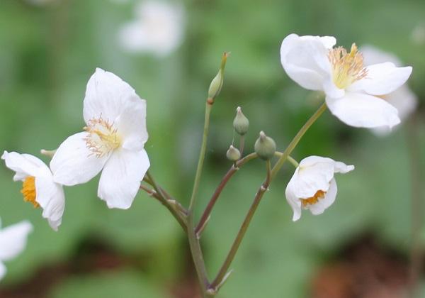 シラユキゲシ(スノーポピー)、花茎に花や蕾をつけてる様子の写真