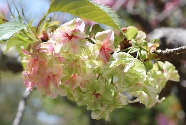 ギョイコウ(御衣黄)、枝から花が咲いてる写真