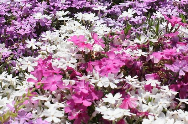 ピンクや白、薄紫、色とりどりの芝桜
