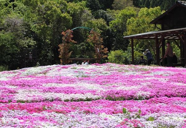 芝桜のフォットスポット