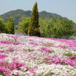 志田フラワー園の芝桜まつり、芝桜と風景写真