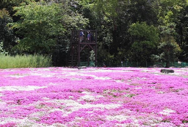 芝桜と展望台