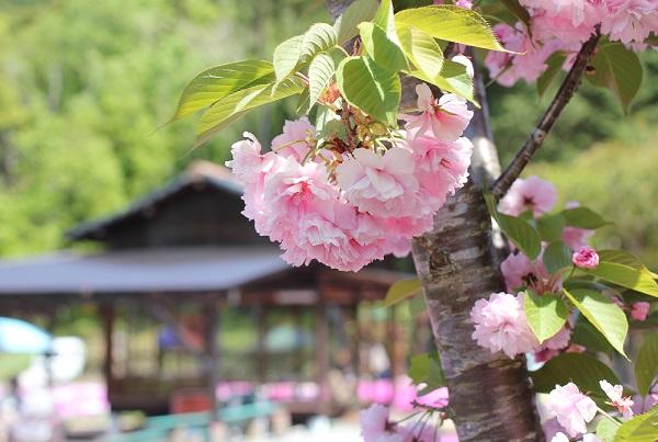 八重桜の写真