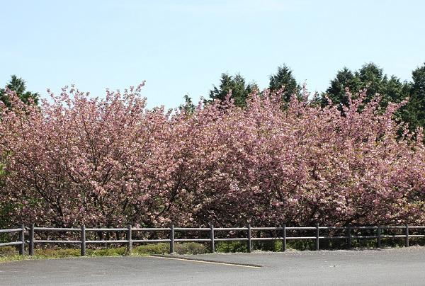 肥前犬山城、駐車場付近の八重桜の様子の写真
