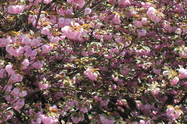 たわわに花をつける八重桜の写真