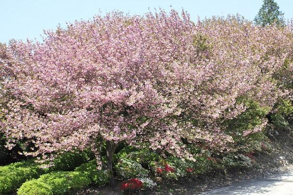 肥前犬山城へ上っていく道沿いの八重桜の様子の写真