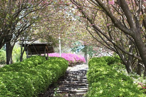 展望所へ上る木道、両脇に植えられてるヤエザクラの写真