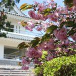 肥前犬山城展望所とヤエザクラの写真
