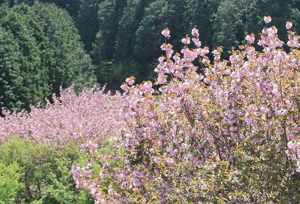 山の中に咲く八重桜の様子の写真