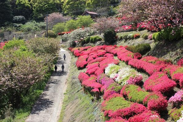歌垣公園のツツジの様子の写真(ツツジ、八重桜、歩道)