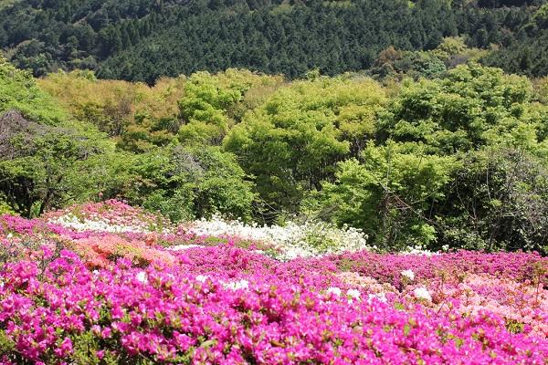 歌垣公園、山の緑とツツジの様子の写真