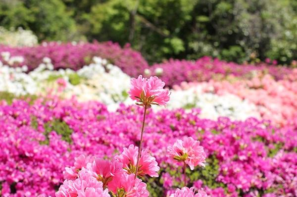 歌垣公園の可愛いツツジの写真