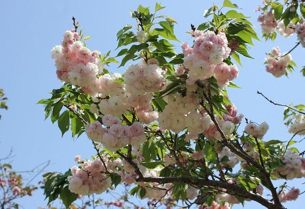 フゲンゾウ(普賢象)の花が咲いてる様子の写真
