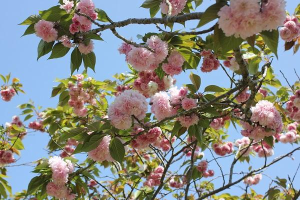 カンザン(関山)の花が咲いてる様子の写真