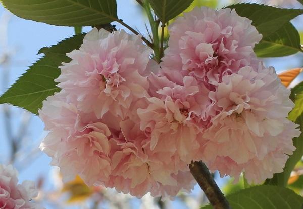 カンザン(関山) 花のアップ写真