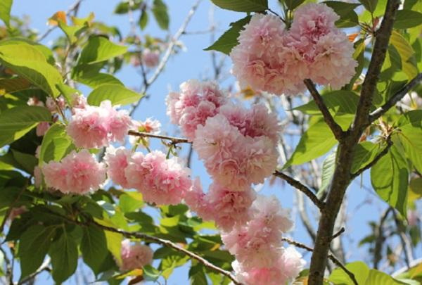 カンザン(関山)、枝に花をつけてる様子の写真