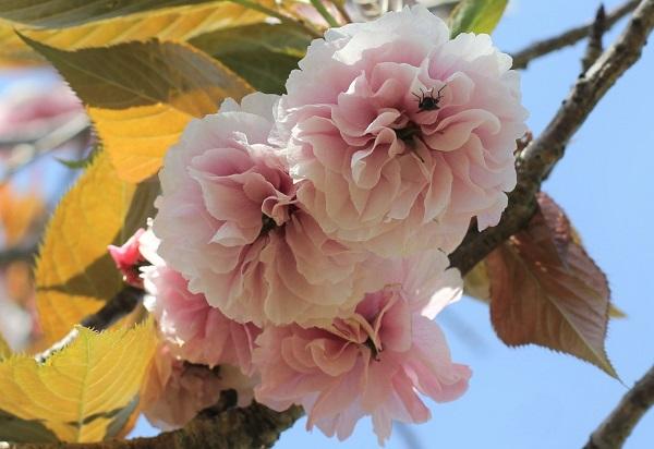フゲンゾウ(普賢象)、花のアップ写真