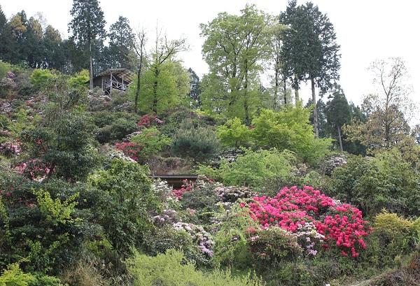 大山しゃくなげ園 斜面に植えられてるシャクナゲの様子の写真