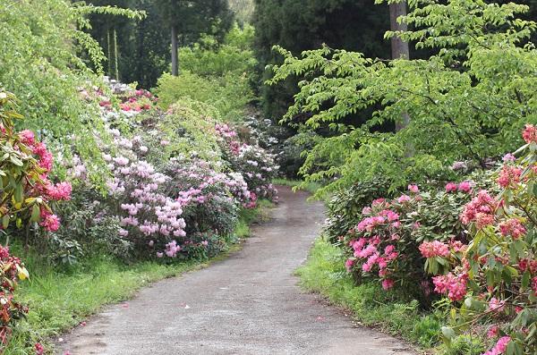 大山しゃくなげ園 散策道のシャクナゲの花