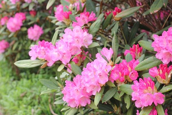 大山しゃくなげ園 美しいシャクナゲの花