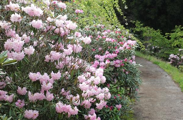 大山しゃくなげ園 散策道のピンクのシャクナゲ