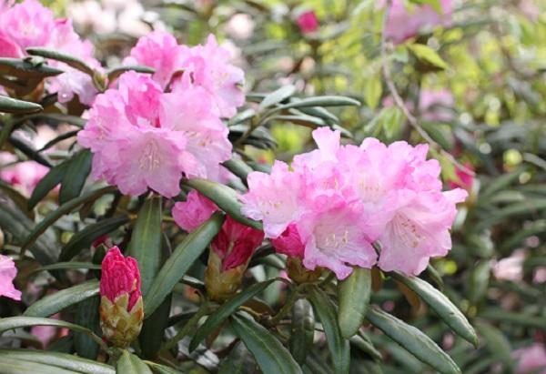 大山しゃくなげ園 色が綺麗なシャクナゲの花