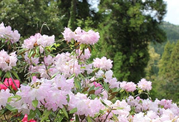大山しゃくなげ園 美しいシャクナゲと山の様子の写真