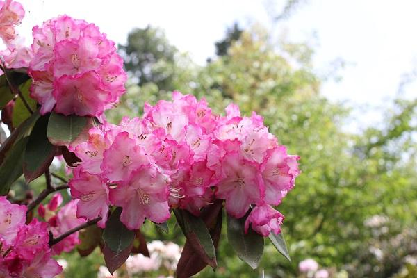 大山しゃくなげ園 手毬の様に咲いている西洋シャクナゲの花