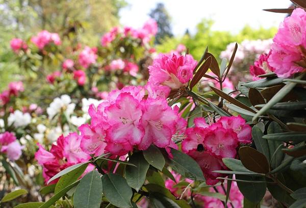 大山しゃくなげ園 西洋シャクナゲが咲いてる様子の写真
