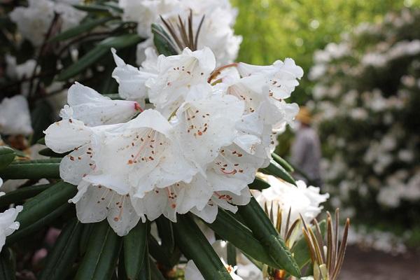 大山しゃくなげ園 白いシャクナゲの花の写真(アカボシシャクナゲ)