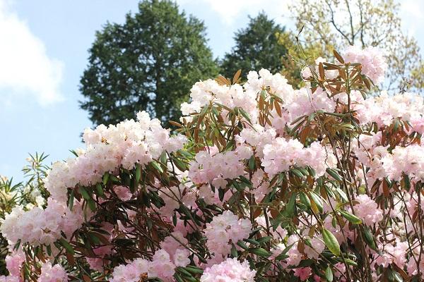 大山しゃくなげ園 筑紫シャクナゲの写真