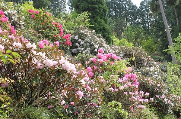 大山しゃくなげ園 散策道にたくさんシャクナゲが咲いている様子の写真