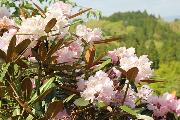 大山しゃくなげ園 美しいツクシシャクナゲの花