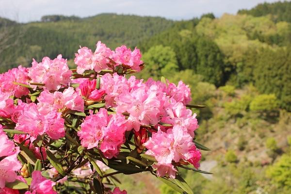 大山しゃくなげ園 山の上に咲く美しいシャクナゲの写真