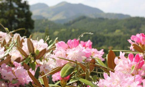 大山しゃくなげ園、山とシャクナゲの花の写真