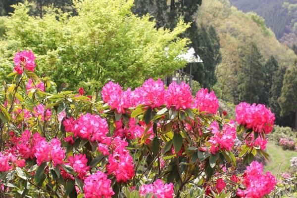 大山しゃくなげ園 山の上に咲く赤いシャクナゲ