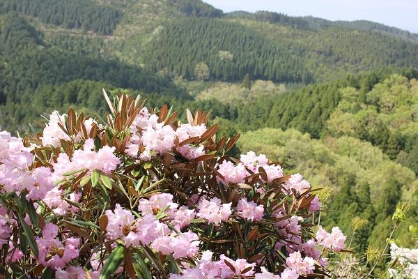 大山しゃくなげ園 山とツクシシャクナゲの花