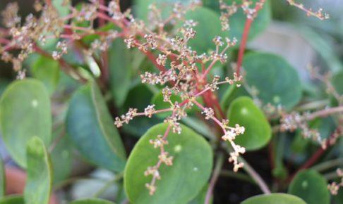ピレアペペロミオイデス(パンケーキプランツ)の花の写真