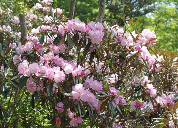 多良岳のツクシシャクナゲの花の様子の写真