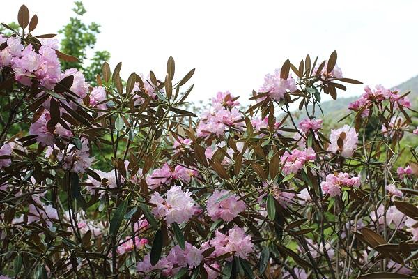 山の上に咲くツクシシャクナゲの花