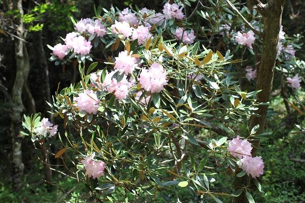 山の中に咲いているツクシシャクナゲ。