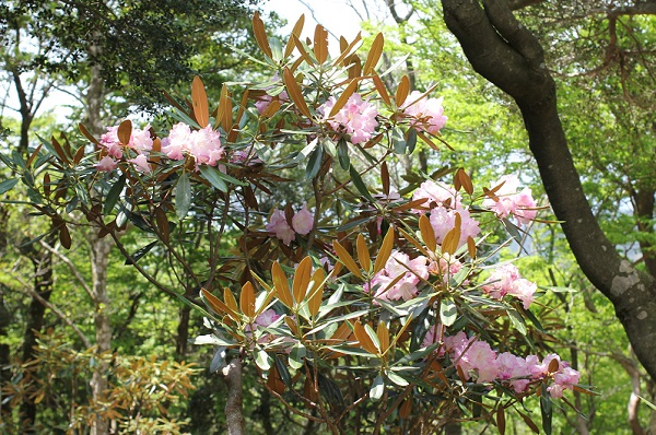 多良岳のツクシシャクナゲ、葉の裏は赤褐色。