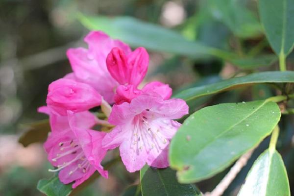 ツクシシャクナゲの花と蕾の写真