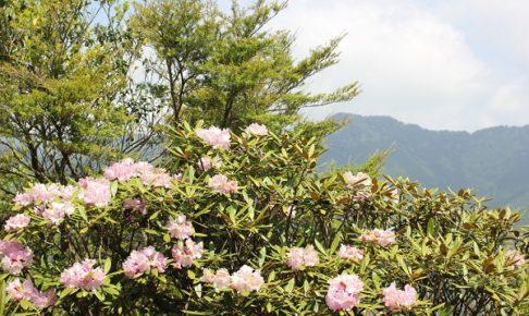 多良岳ツクシシャクナゲ群叢のシャクナゲと山の写真