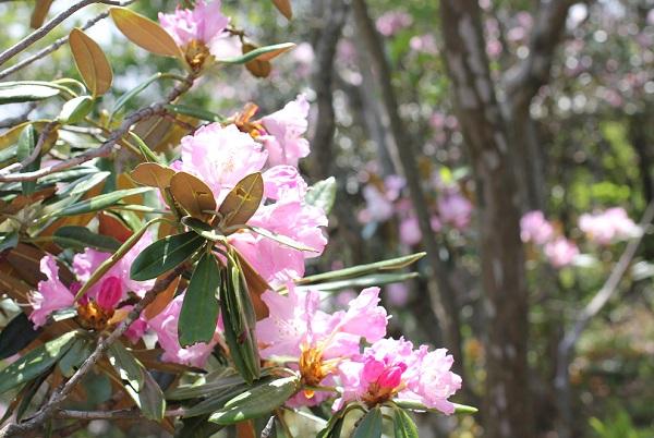 多良岳に咲く美しいツクシシャクナゲの花の写真