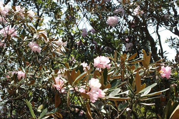 生き生きと咲いているツクシシャクナゲの花の写真
