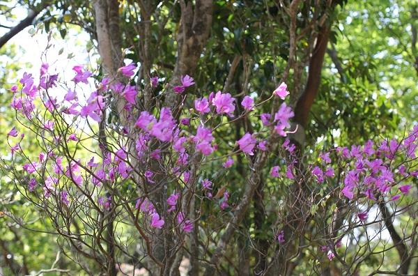多良岳ツクシシャクナゲ群叢に咲くミツバツツジの写真